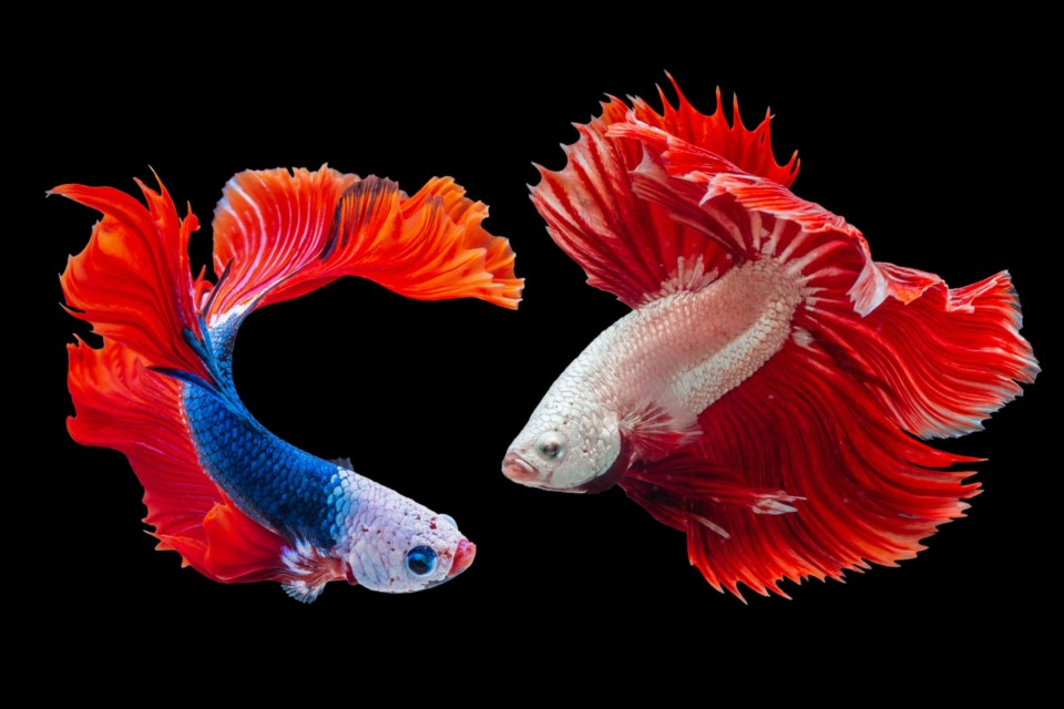 livello di attenzione e copywriting - il pesce rosso